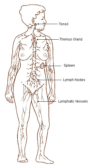illu_lymphatic_system
